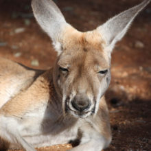 Kangaroo Management And Research 5