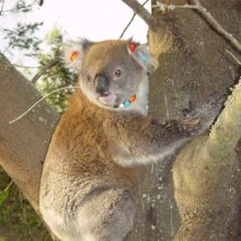 Koala Management And Research 4