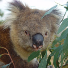 Koala Management And Research 1