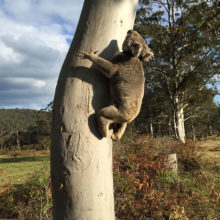 Koala Management And Research 7